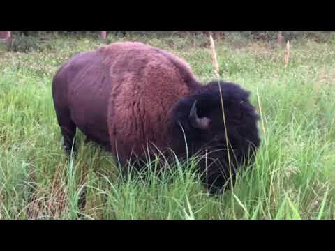North American Bison Dreaming