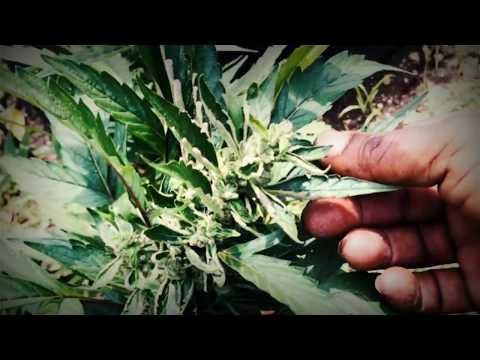 BEST WEED!!!!( MARIWANA))JAMAICAN WEED