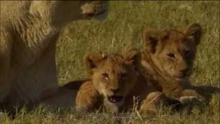 A brief celebration of lions