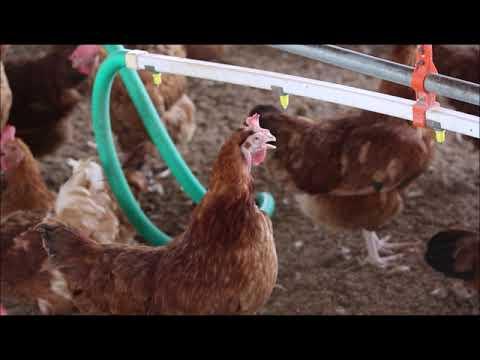 Hens Drinking Water At Farm Made Foods, Palladam, Coimbatore