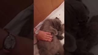 Шотландская веслоухая кошка, первые роды!Роды на дому!)