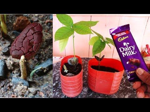 """Grow Cocoa """"Chocolate"""" Plant at home; चॉकलेट घर पे भी ऊगा सकते हैं आसानी से : Fast & Easy"""