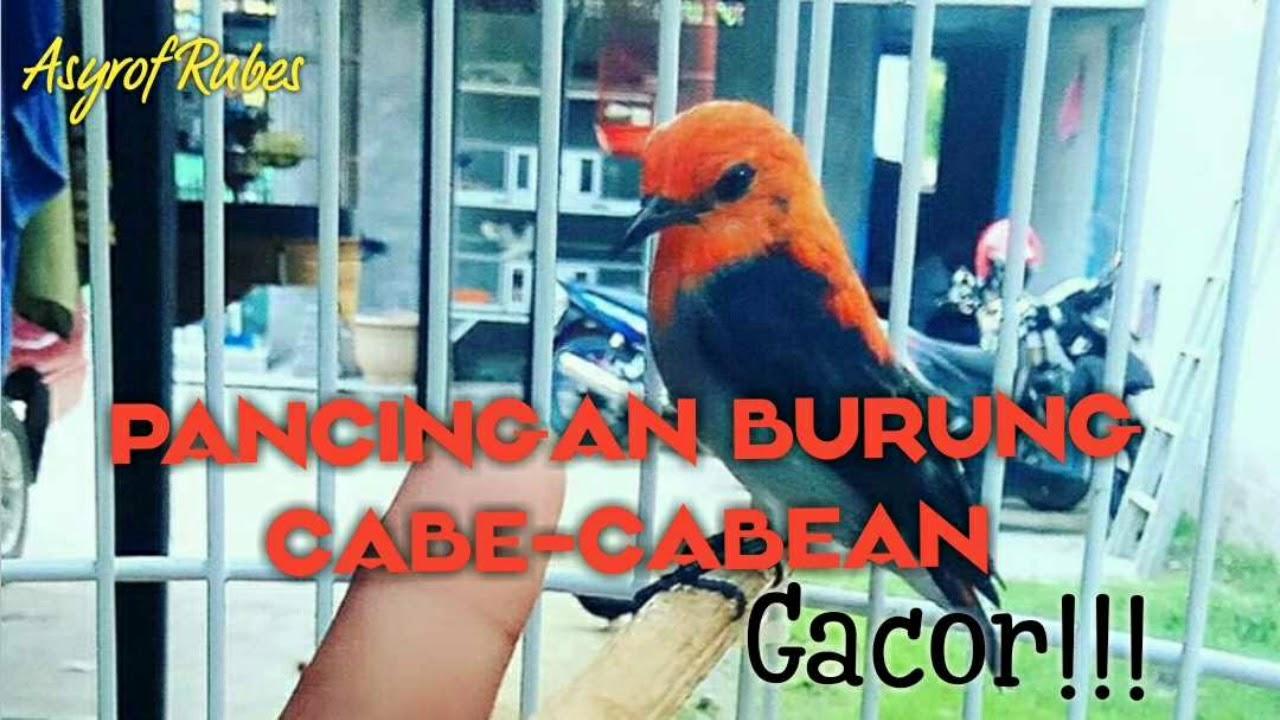Download Pancingan burung Cabe-cabean biar gacor!!! #kamade