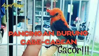 Pancingan burung Cabe-cabean biar gacor!!! #kamade
