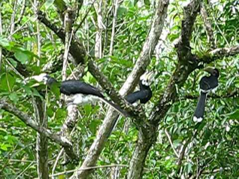 Oriental Pied Hornbill family, Panaga, March 2011, Jacqueline Henrot