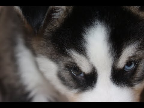 10 MINUTES OF CUTE HUSKY PUPPIES PLAYING (2017)
