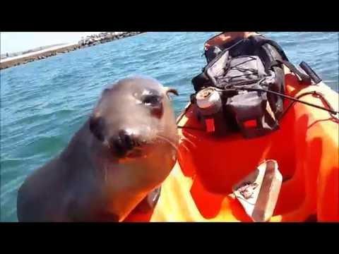 Sea dog climbs into my kayak