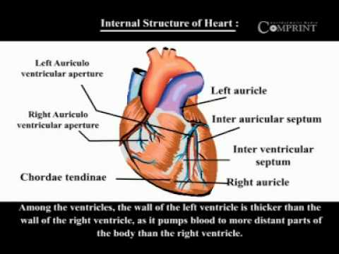1122 internal structure of heart youtube 1122 internal structure of heart ccuart Gallery