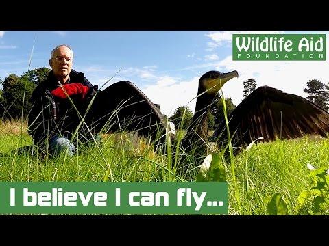 Flying FAIL for Pedestrian Cormorant