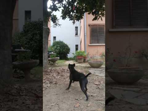 Staffordshire Bull Terrier high jump