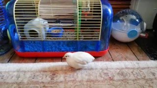 Widget Exploring - Tame Button Quail
