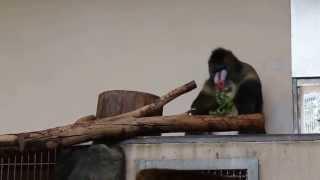 Mandryl in Zoo