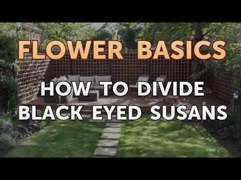 How To Divide Black Eyed Susans You