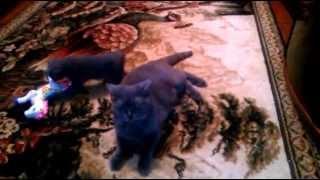Британский короткошерстный котенок (девочка)