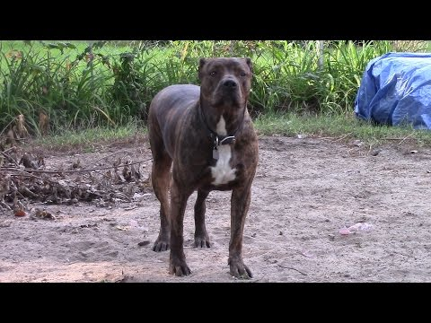 Pitbull cardio workout - American Staffordshire Bull Terrier - Is she fat?