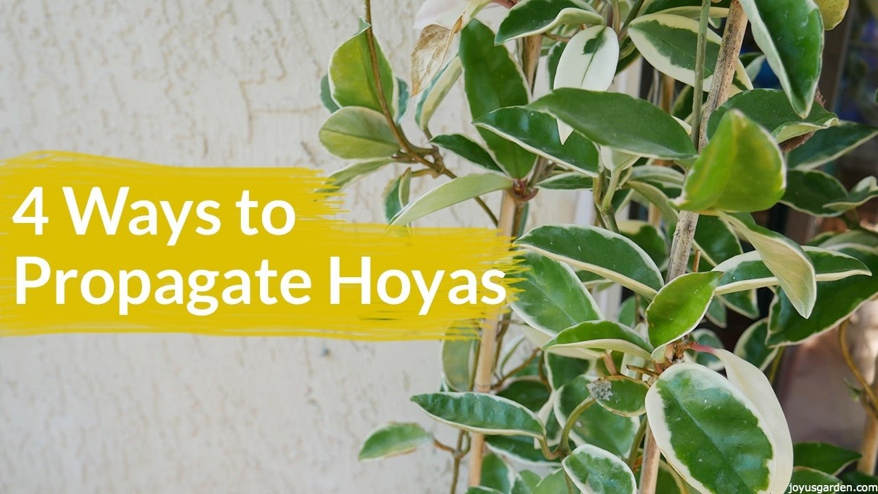 4 Ways To Propagate A Hoya Joy Us Garden Youtube