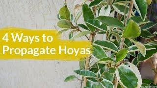 4 Ways To Propagate A Hoya / Joy Us Garden