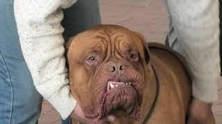 Бордоский дог. Выставка собак. Черное море. Одесса. Собаки. Собачники. Ривьера. КСУ. САС. VLOG DOG.