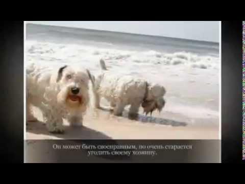 Маленькие породы собак СИЛИХЕМ ТЕРЬЕР