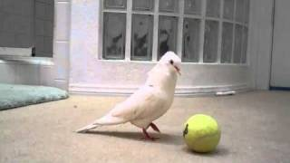 Dove plays with a ball