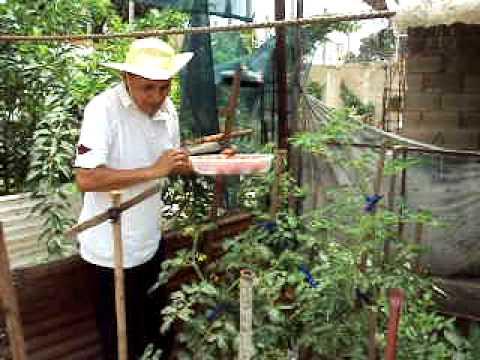 Siembra de tomate en casa youtube for Huerta de aromaticas en macetas