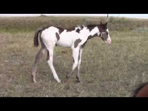 2014 Black Overo Colt For Sale   [SOLD]