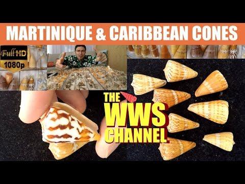 Sea shell Collection : Martinique cones (Caribbean Seashells)