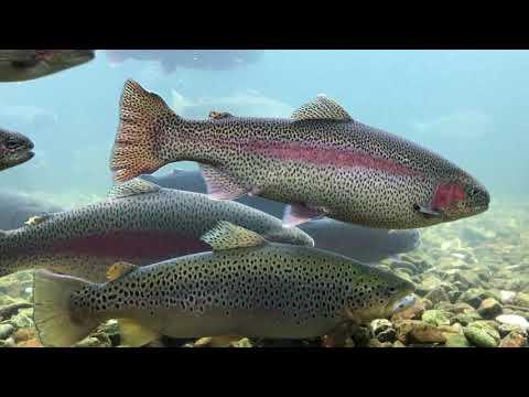 Branson Missouri Fish Hatchery - Trout, Lake Taneycomo