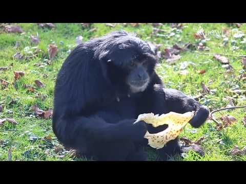 Our Siamang Gibbons and Lion-Tailed Macaques Celebrate Pancake Day | Howletts Wild Animal Park