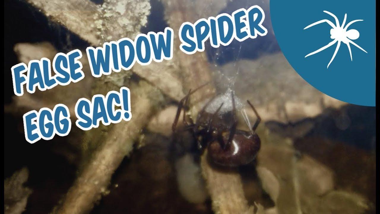 False Widow Spider Making An Egg Sac Shout Out