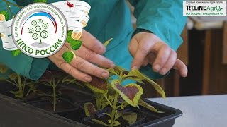 видео Колеус. Выращивание из семян и уход