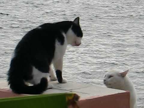 Il Mio Gatto Nico Bianco E Nero E Un Suo Rivale Youtube