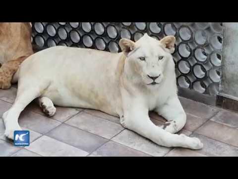 Tres leones viven en la azotea de una casa en la Ciudad de