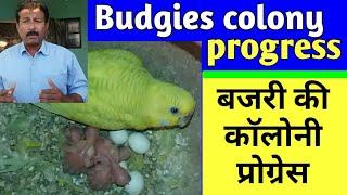 Australian Parrots ki colony progress | Hindi/Urdu