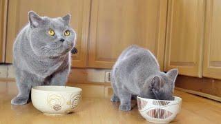 Cute British Shorthair Kitten Videos Compilation  British Shorthair Cats  British Shorthair Meow