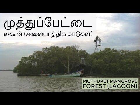 Muthupet Lagoon/Mangrove Forest - முத்துபேட்டை லகூன் (அலையாத்திக் காடு)
