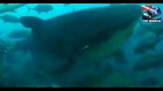 Hai Tauchen Fidschi! Super Tauchen mit Haien in Pacific Harbour. Tigerhaie, Bullenhaie.