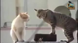 قطط مضحكة حوار بدبلجة مغربية معكم الحسن حريد