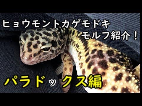 【爬虫類】レオパモルフ紹介 パラドックス編