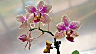 Орхидея. Мини фаленопсис Sogo Gotris \ Orchid. Mini Phalaenopsis Sogo Gotris(, 2016-11-10T15:38:56.000Z)