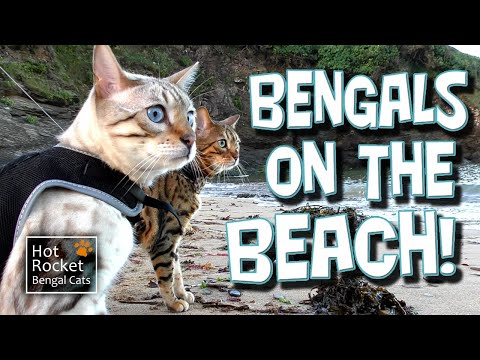 Bengal cats talking on the beach! Rocket & Pixel at the coast