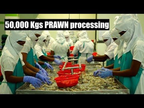 50000 Kgs Prawn/ Shrimp Harvesting & Processing | Amazing Aqua Food | Surya Mitra Exim Pvt Ltd