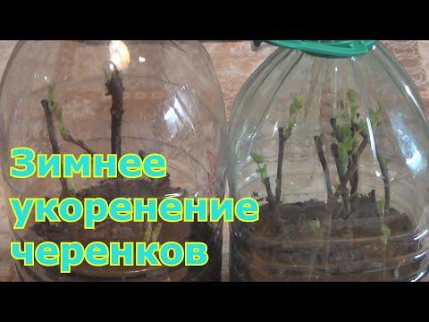 Вопрос: Какие плодово- ягодные культуры можно размножать при помощи черенков?