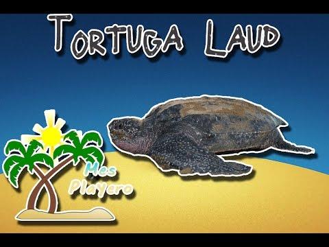 Tortuga laud | El visitante de todos los mares| (Animales del Mundo) |Mes playero|