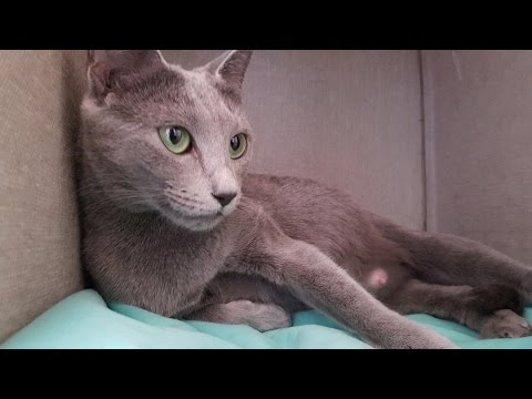 Russian Blue - Cute Baby Kittens being Born - Amazing!