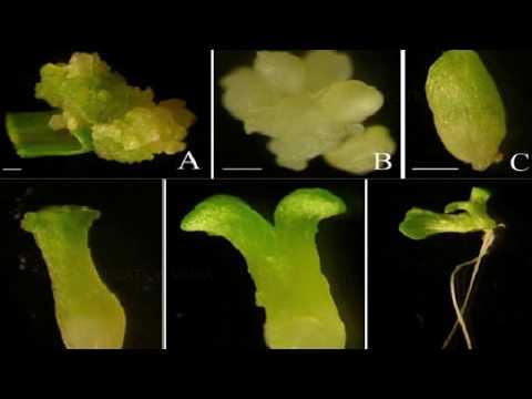 BASIC TECHNIQUES OF PLANT TISSUE CULTURE