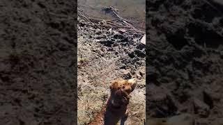РОС. Русский охотничий спаниэль.Самая лучшая подурожейная собака .
