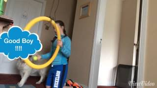 How To Teach Your Dog To Jump Through A Hoop.