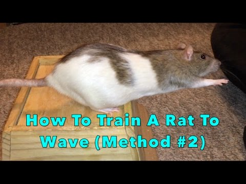 How To Train A Rat To Wave (Method #2)