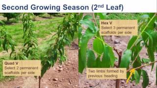 Innovation in Peach Training System
